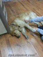 adanada 2.5 yaşındaki erkek golden cinsi köpeğime eş arıyorum acil