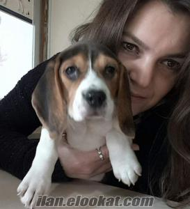 beagle harika aile köpeği yavruları