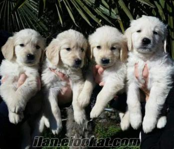 GOLDEN retriever harikaaa safkan yavrularrr