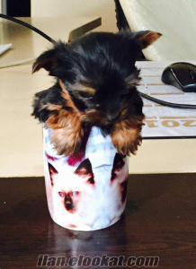 yorkshire terrier harika satılık yavrularr