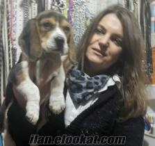 elizabet beagle mükemmel safkan satılık yavrularımm