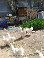 habeş tavuklar acil satılık