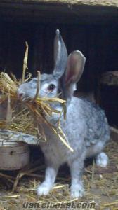 Boluda ada tavşanı