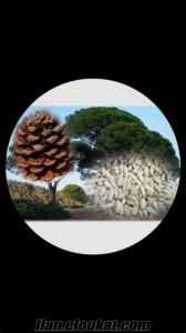 Çam fıstığı kozalağı satış
