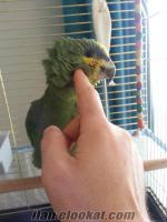 satılık papagan tamamen evcıldır