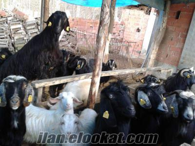 12 adet kurbanlık kıl keçisi
