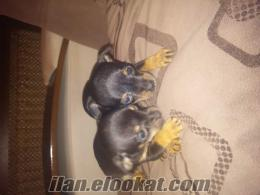 istanbul bostancıdan satlık mınyatur pıncher yavrusu 1 dişi