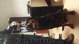 23 aylik dişi Rottweiler istanbul