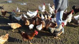 kocaeli Başiskelede organik yumurta civciv ve tavuk satmaktayız