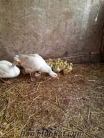 kampanyalı kaz yumurtası satışı