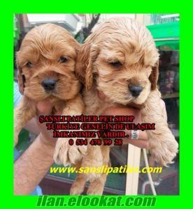 satılık kukır yavruları