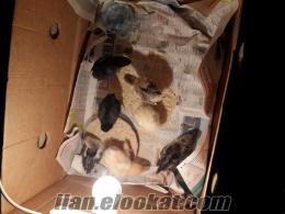 erzurumda satılık brahma civcivleri