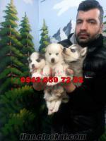 satılık sibirya kurdu yavruları