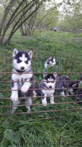 satılık sibirya kurdu husky yavruları düzce