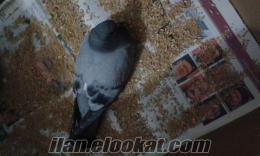 Yardıma muhtaç güvercin