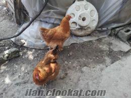 İstanbul fatihten satılık brahma tavuklar