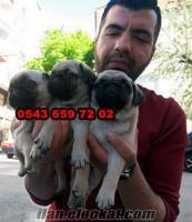 satılık pug yavruları