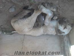 sahibinden satılık kangal yavruları