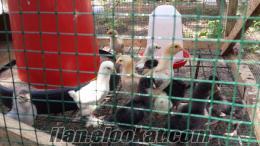 satılık brahma civciv