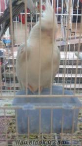 satılık WF sultan, tepeli muhabbet, Sevda papağan, alışkın jako , finch kuşl