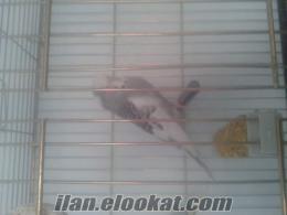 jumbo muhabbet kuşu