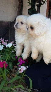 Beyaz pekinez yavruları IRK VE SAĞLIK GARANTİLİ