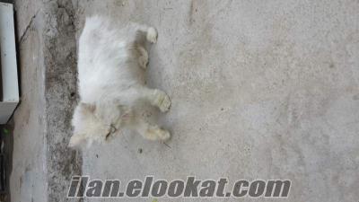 Satılık iran kedisi