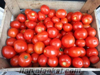 satılık salçalık tarla domatesi