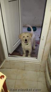 İstanbulda sahibinden satılık golden retriever köpeği