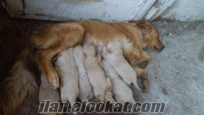 sadık köpek golden satılık
