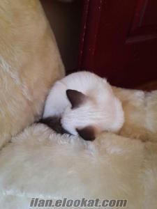 Iki buçuk aylık siyam yavru kedim