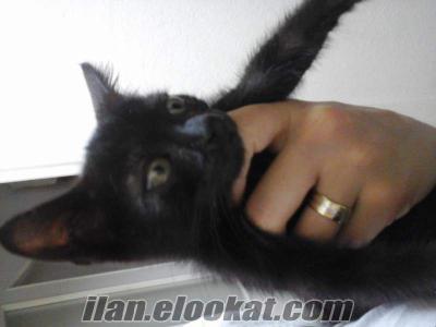 Siyah kedi disi 2 aylık gaziosmanpasa