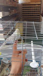 Sahibinden satılık 1 cift ele alışık muhabbet kuşu