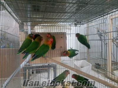 izmirde papaganlar