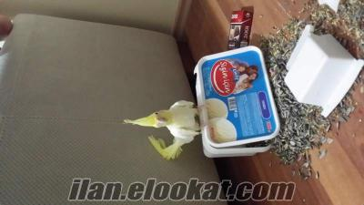 pendikte cift sultan papagani + buyukboy daire kafes 300tl