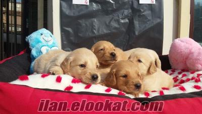 Golden Retriever satılık yavrular
