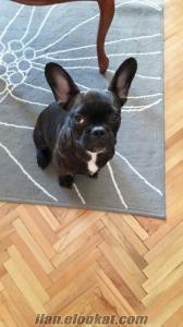 fransız bulldog sahiplendirme oyuncuusluve