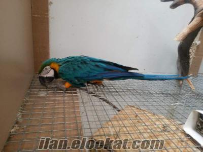 izmir bayraklı papağan çeşitleri