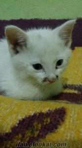 Yavru van kedisi