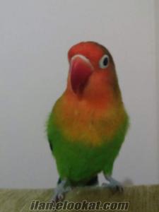 Erkek Cennet Papağanı , Kafesiyle birlikte