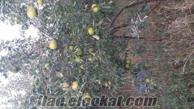 KONYA ILGINDA satılık yüzde yüz organik elma