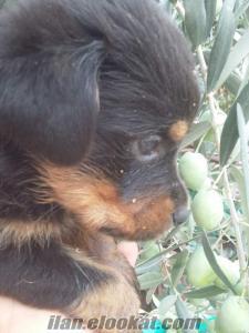 Koca kafa Rottweiler yavruları SAĞLIK ve IRK GARANTİLİ