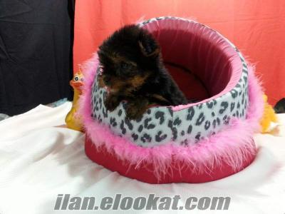 Yorkshire Terrier satılık yavrularımız