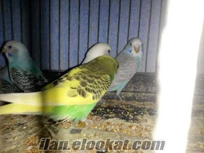 toptan satılık yerli yavru muhabbet kuşu