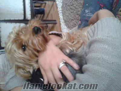 istanbulda sahibinden yorkshire terrier