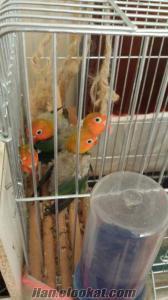 satılık yavru cennet papağanları