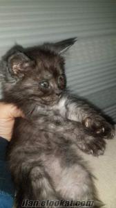 Siyam kedisi kirmasi siyah mavi gozlubyavrular