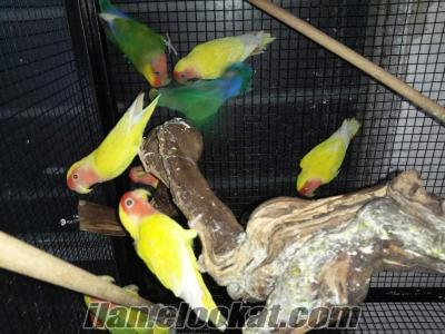Izmir bayrakli papağan lar