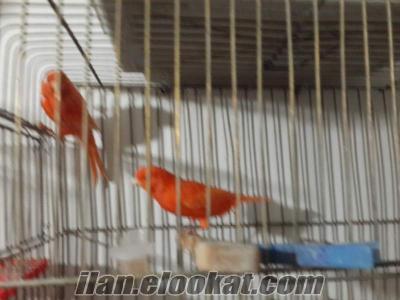 satılık kırmızı kanarya