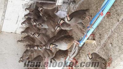 Ankarada Kınalı Keklik palazı ve yumurtası satışı yapılır
